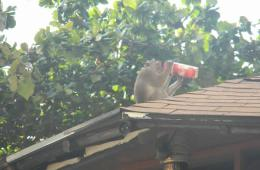 a monkey drinking from a soda can on a person's roof