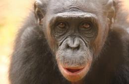 a bonobo chimp