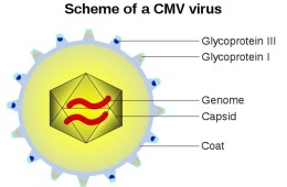 the CMV virus