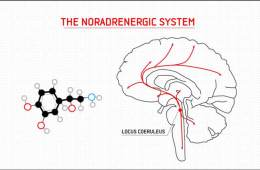 noradrenaline structure and the brain