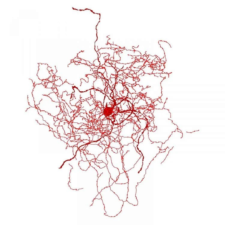 New Kind Of Human Brain Cell Identified