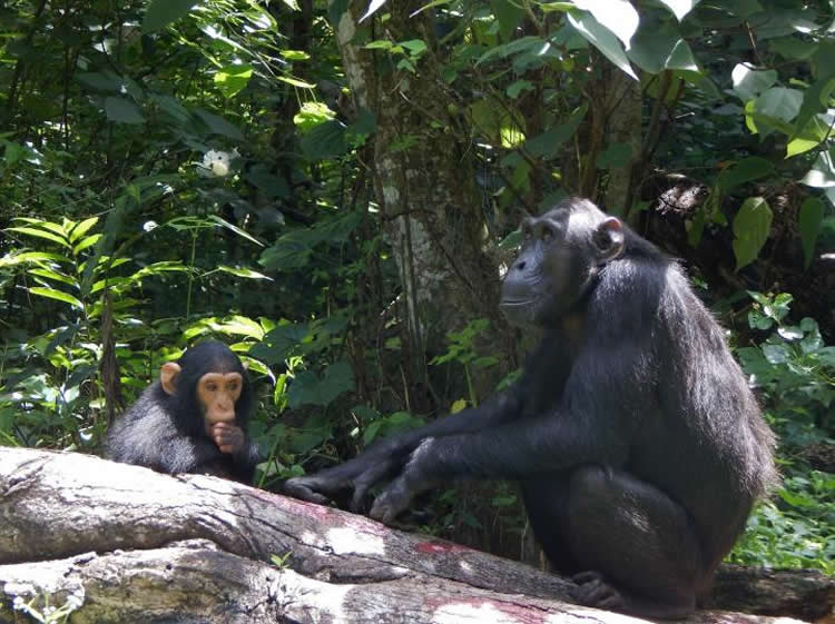 a chimp and her baby