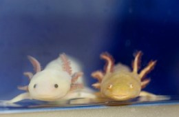 2 Axolotl salamanders are shown.