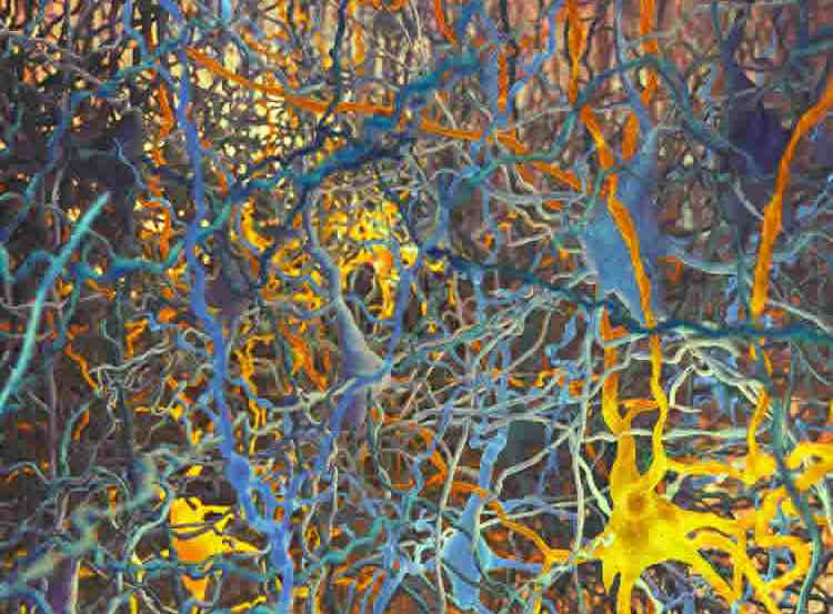 The illustration is of pyramidal neurons in a rat's neocortex
