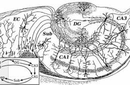 A detailed drawing of the hippocampal formation is shown.