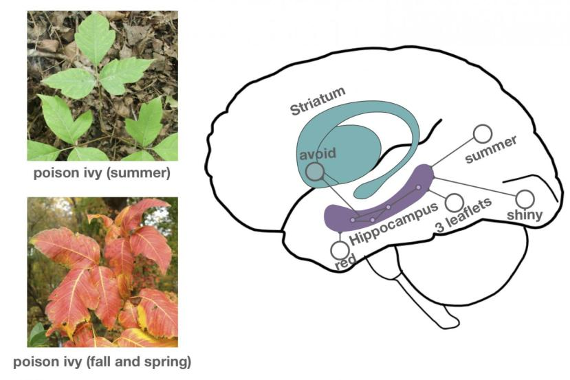 """An image of green poison ivy leaves with """"summer"""" under the image is positioned above an image of red and orange poison ivy leaves with """"fall and spring"""" under it. Both of these images are to the left of a graphic of a brain with the striatum and hippocampus drawn in and labeled. Areas are labeled with the words avoid, red, leaflets, shiny, and summer on the graphic."""