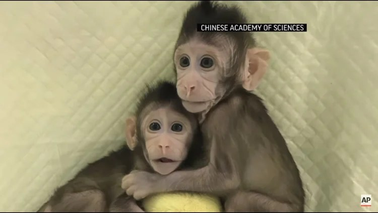 These are two of the baby clone monkeys.