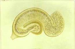 This is a drawing of the hippocampus