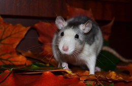 This is a super cute rat