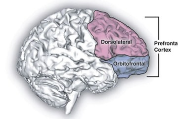 The prefrontal cortex in the brain is highlighted here