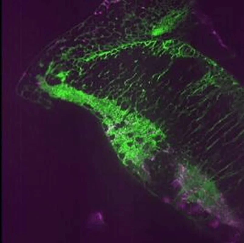 Frustrated fish give up thanks to glia, not just neurons