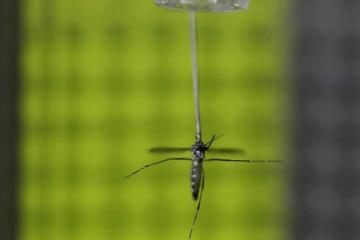 This shows a female mosquito