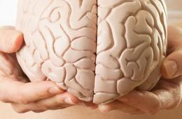 This shows a person holding a model of a brain