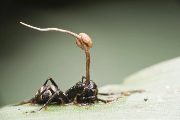 This shows an ant with a parasite attached to it