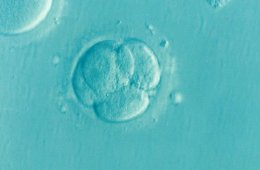 This shows a fertilized egg
