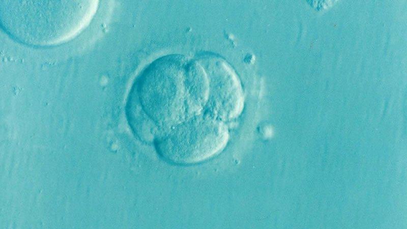 This shows a fertilized egg