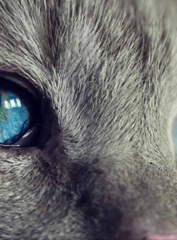This shows a gray cat with blue eyes