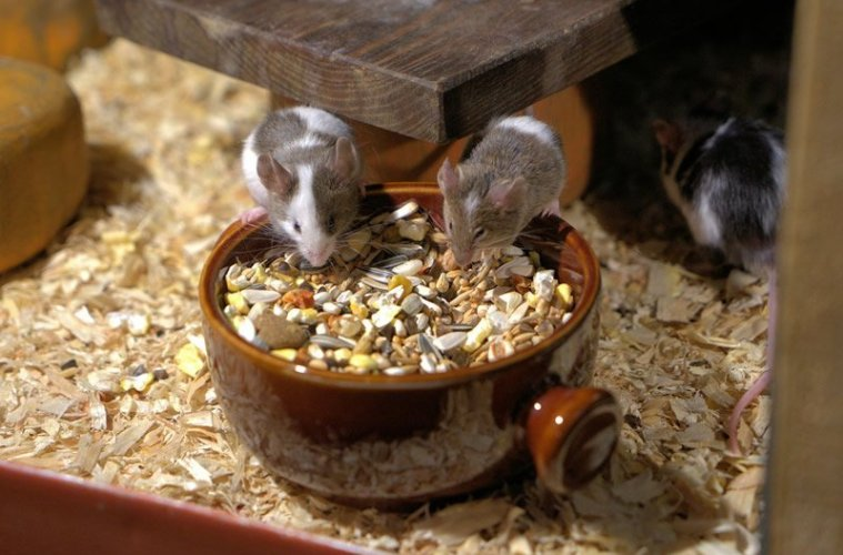 This shows mice eating