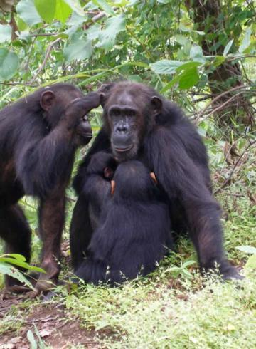 This shows a mom and daughter chimp