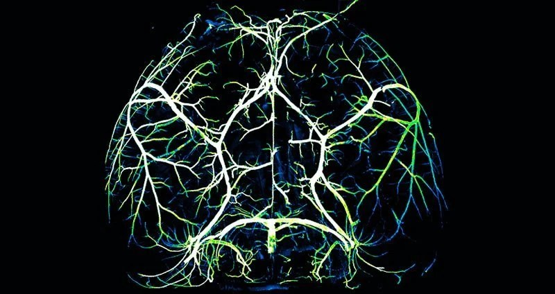 How the brain and its arteries communicate to supply blood to areas of heightened neural activity