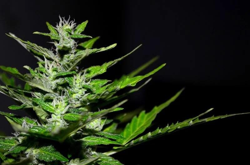 Image result for false memory cannabis