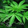 This shows a cannabis plant