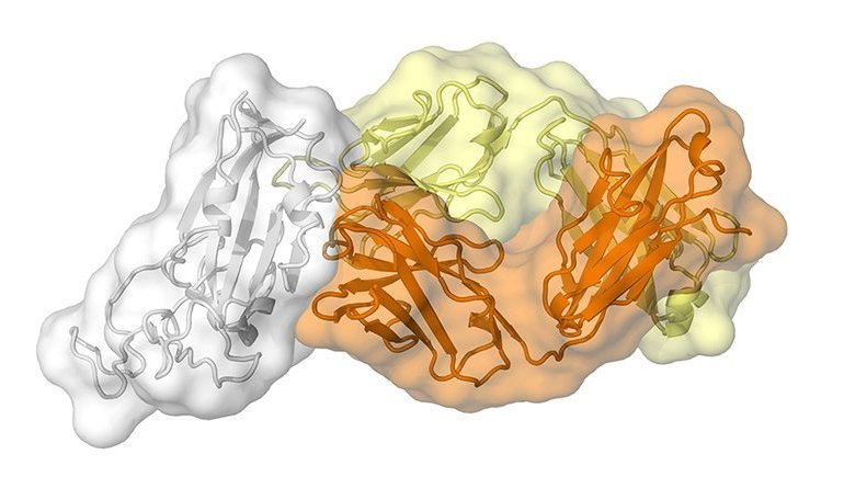 This shows the antibody structure