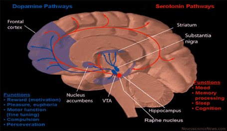 Some of the general pathways for dopamine and serotonin in the human brain are illustrated.
