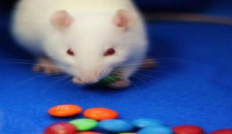 A rat is shown eating candies.