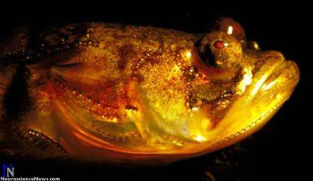 Image of a large midshipman fish.