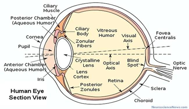 Pupil dilation reveals sexual orientation neuroscience news human eye drawing ccuart Gallery