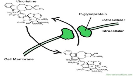 P-glycoprotein drawing and transport of drug is shown.