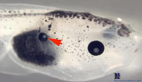 An eye is shown in the middle of a tadpole back. Functioning Eye in Midsection of Frog Embryo.