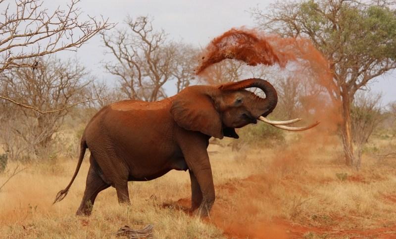 An African elephant bathing with dirt - Neutrino Burst