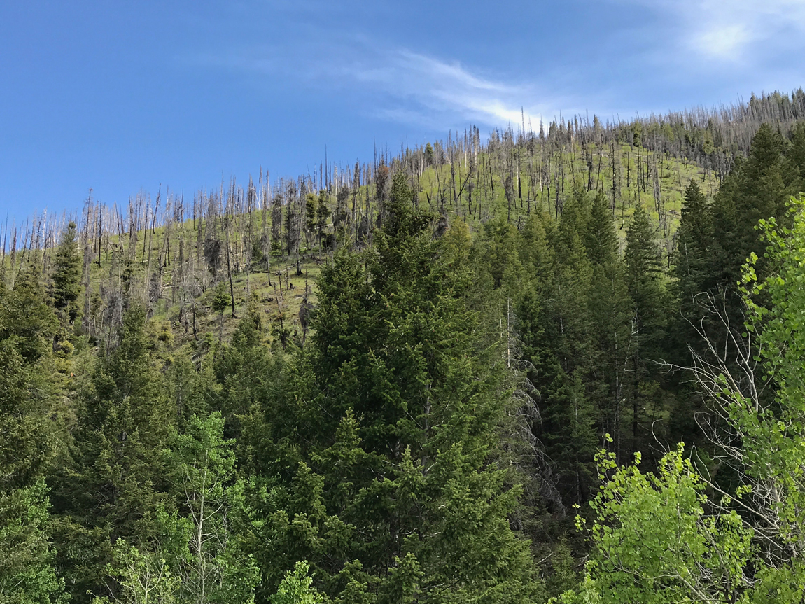 Central Rocky Mountain forest affected by bark beetles and wildfire. Photo by Erin Hanan.
