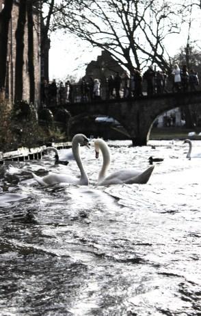 The swans - Bruges