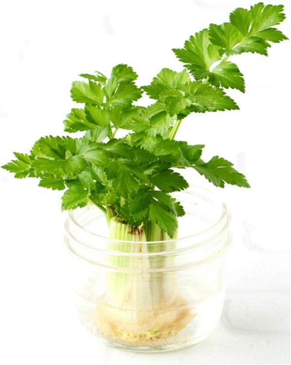 How to Regrow Celery Tutorial