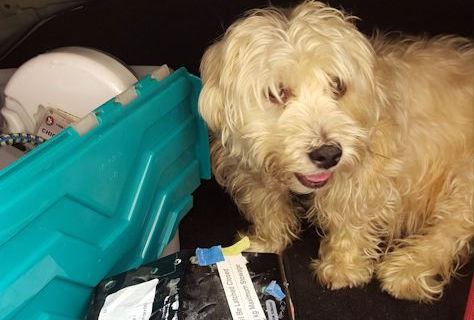 Dog climbed into car trunk