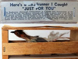 Captured Roadrunner gift shop novelty