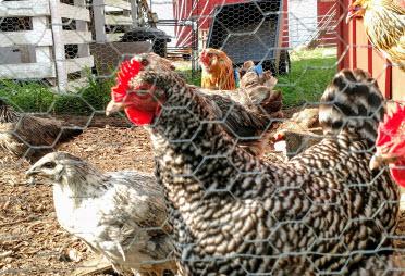 Chicken yard on Wade Road