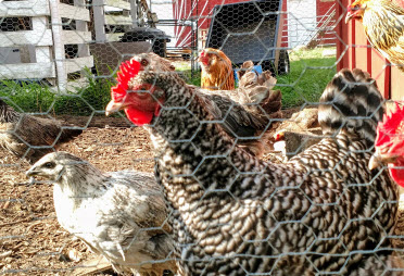 The chicken gang on Wade Road