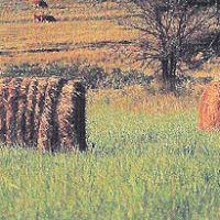 DISCOVER KANSAS Hay and Cows and Hills postcard