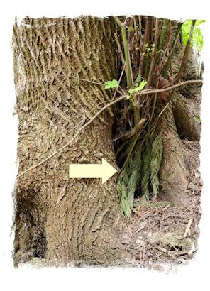 Geocache Tree Tupperware Ferns