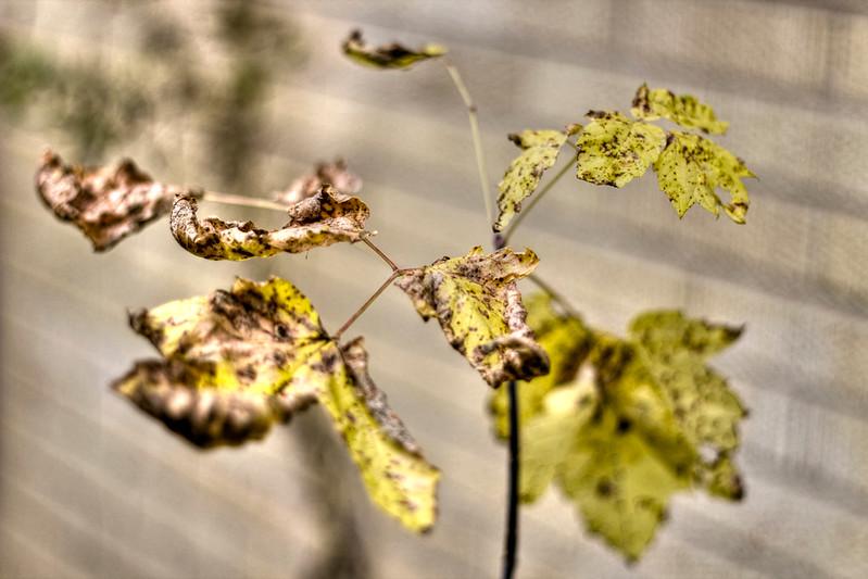 The mini maple shrivels