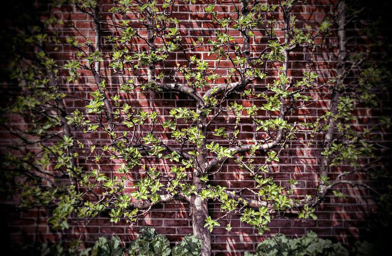 U-shaped apple tree
