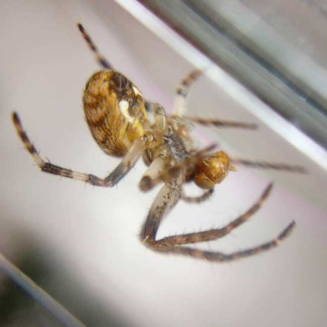 Spider feeding on a fruit fly