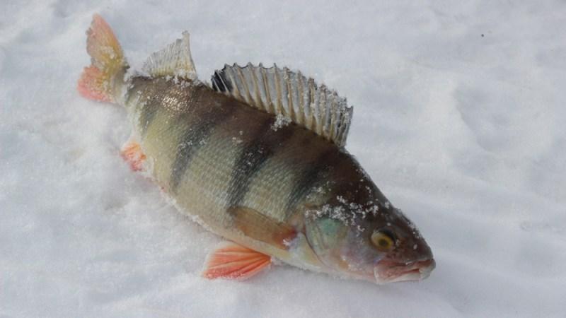 Рыба как фортуна — она или есть, или её нет