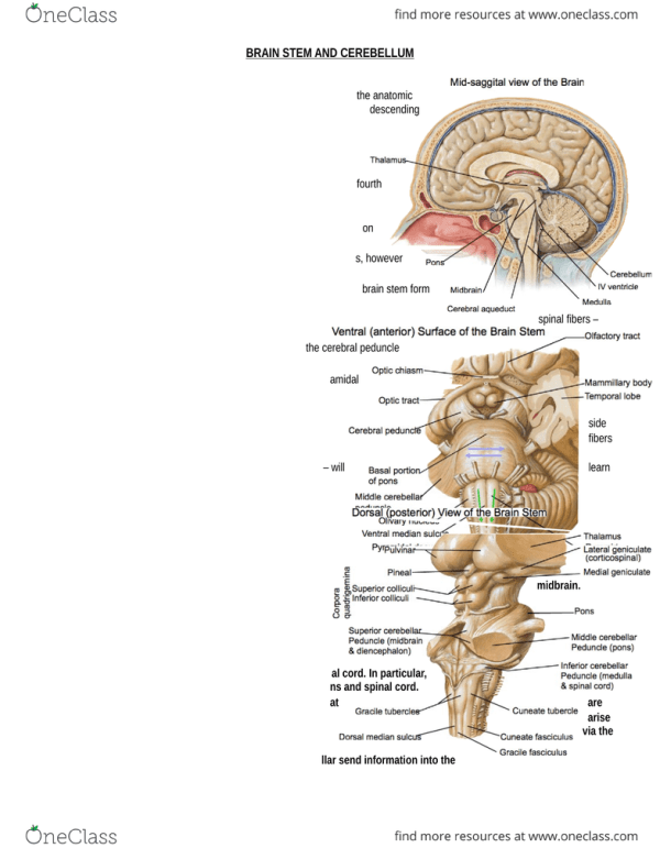 Portion Of The Brain Stem Where The Cerebral Peduncles Are ...