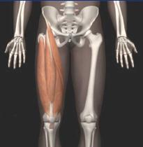 大腿四頭筋 正面