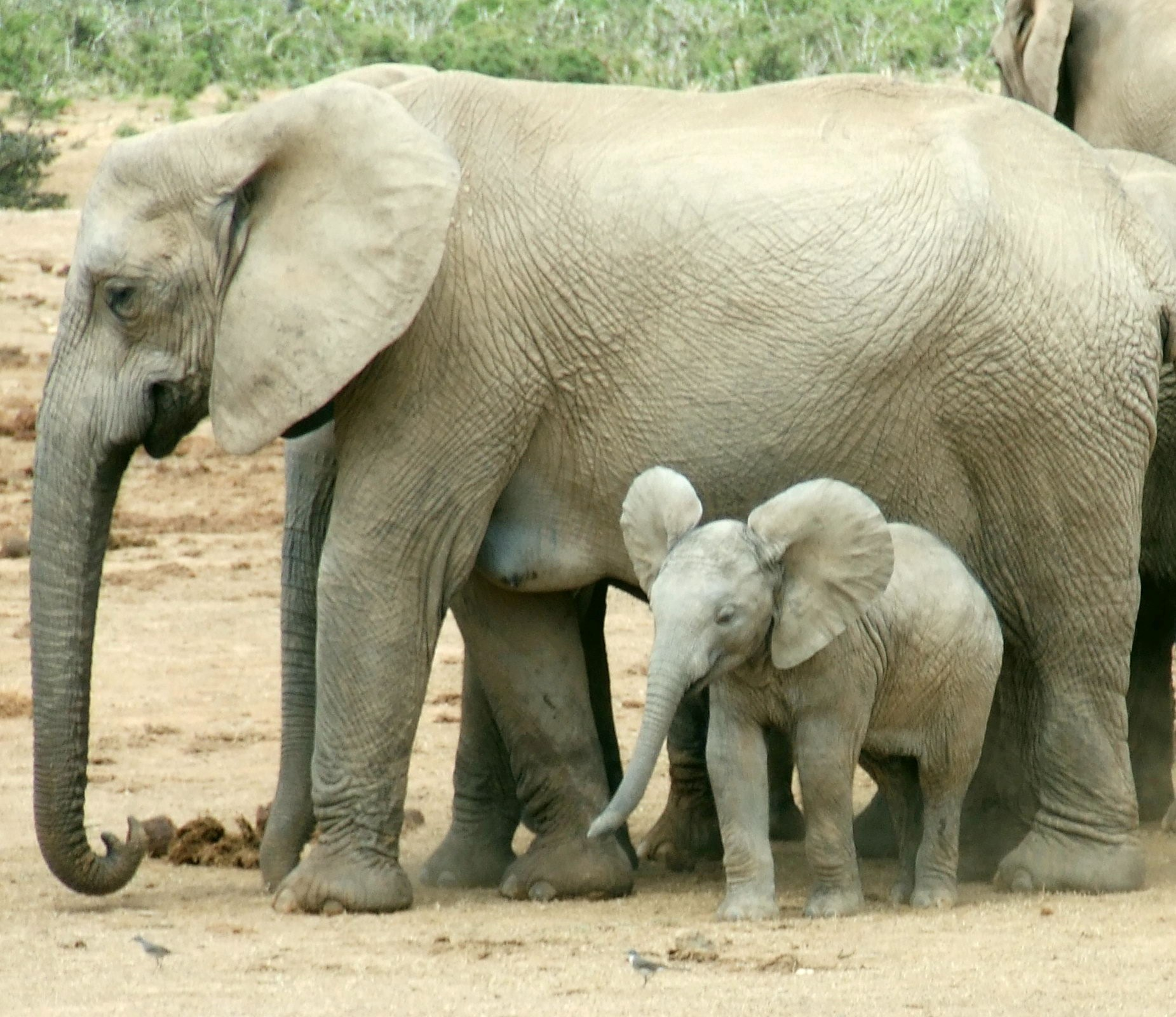 Elephant adults only 11